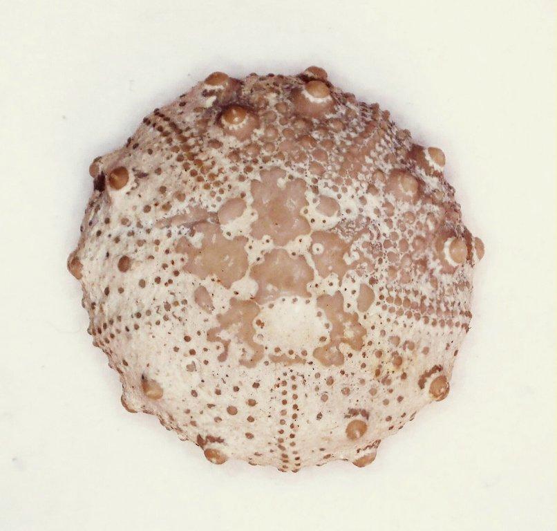 5fbd5e9d9652f_EchinoidHeterosalenia(rykyrae).jpg