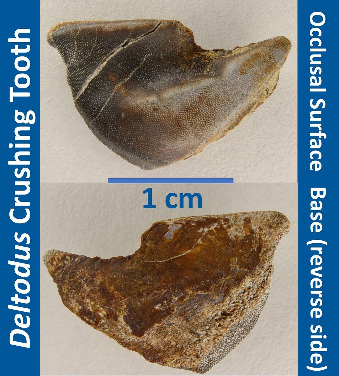 Deltodus Tooth.JPG