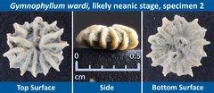 02 Gymnophyllum wardi Neanic Specimen 02.jpg
