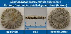 09 Gymnophyllum wardi Mature Specimen 04 Flat top, Fused Septae, detailed growth lines