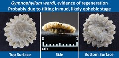14 Gymnophyllum wardi Peculiar Specimen 04 evidence of regeneration