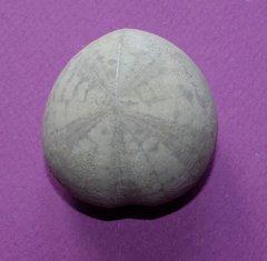 6000D-Crassiholaster-subglobosus.JPG