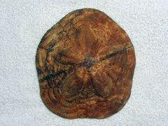 Clypeaster altus (Leske 1778)