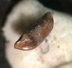 Mammal premolar (1)