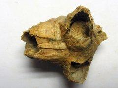 Concavus concavus (Bronn 1831)