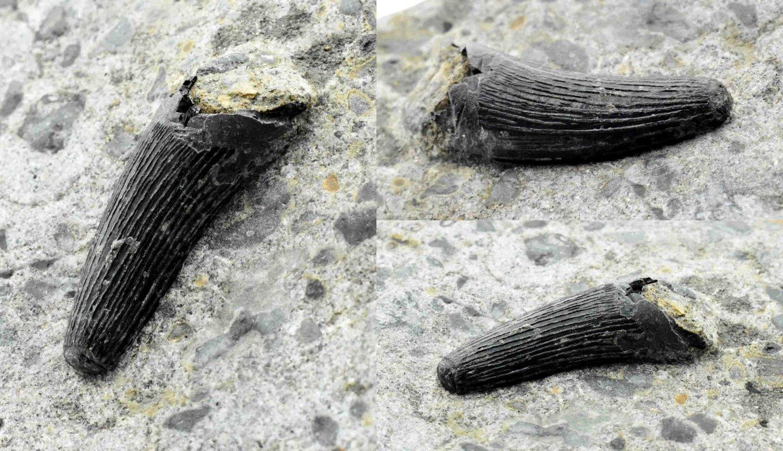 5ffb48549972d_MachimosaurushugiitoothonmatrixLourinhFormationPortugal02.thumb.jpg.7579d92ddebf07976b6b9c1e4dc7aa15.jpg