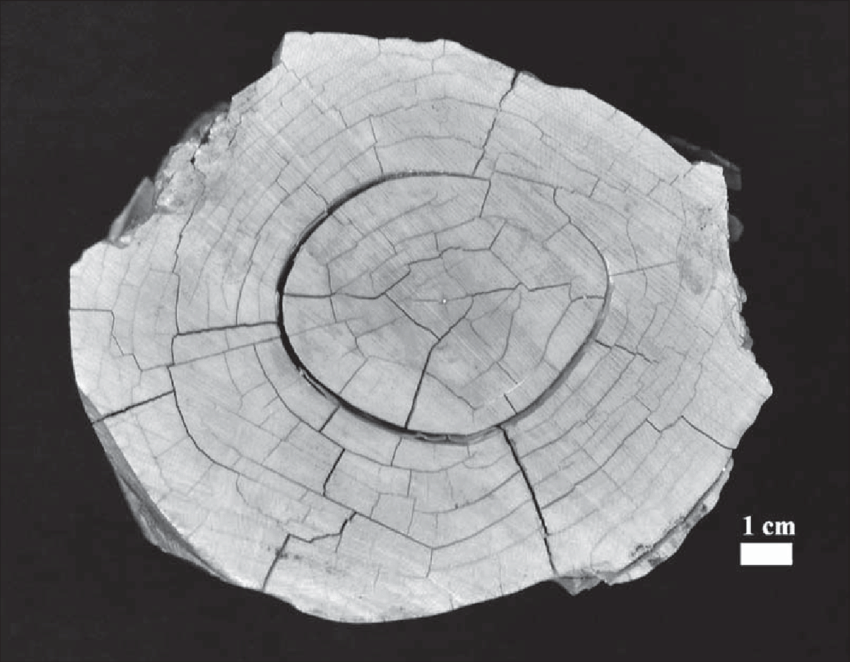 Cross-section-of-the-proximal-end-of-the-mammoth-tusk-used-in-the-experimental-research.png.8454e13483bcccfc3037dfd1d270c5c9.png