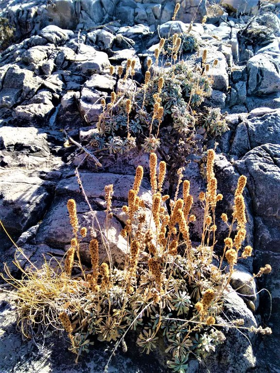 buckwheat.thumb.jpg.40671f895fc18476958ced08105c0222.jpg