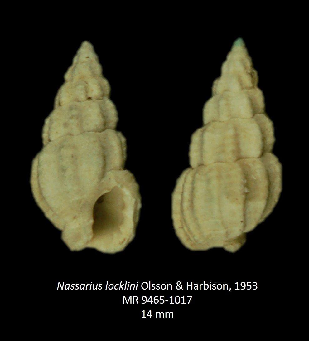 Nassarius locklini