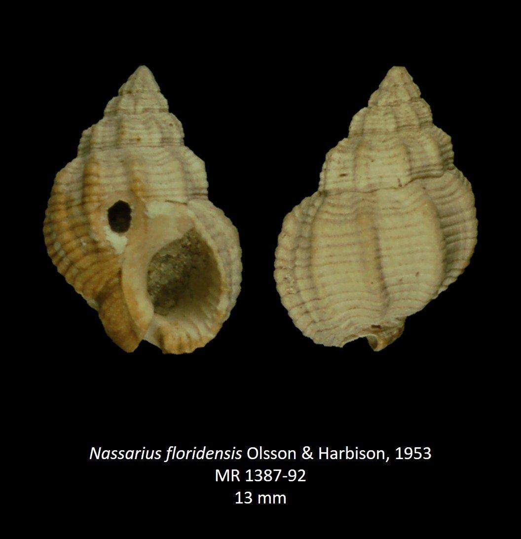 Nassarius floridensis