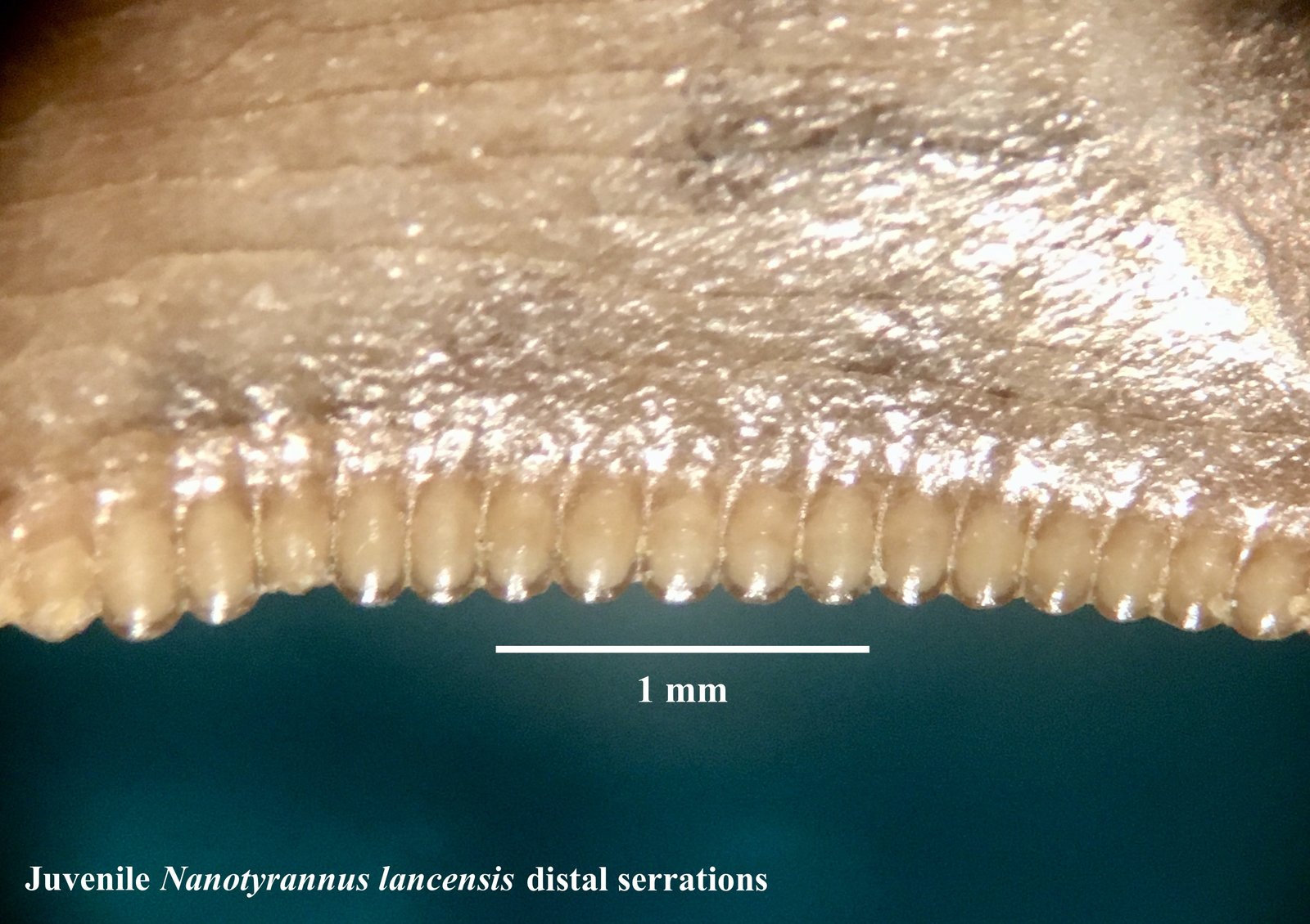 Nanotyrannus serrations