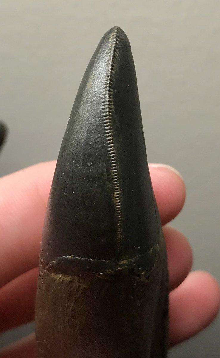 T. rex posterior dentary tooth mesial carina