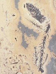 walchian conifer cone (male)