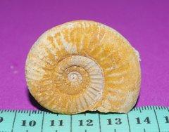 Ammonite Saint-Laon - 5