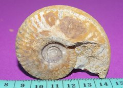 Ammonite Saint-Laon - 6