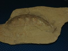 Shell fragment from Metacoceras Sp