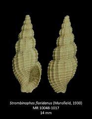 Strombinophos floridanus