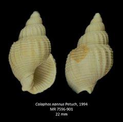 Calophos nannus
