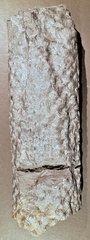 Stigmaria ficoides (Sternberg) Brongniart 1822