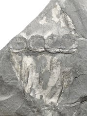 Calamites sp. with oviposition scars