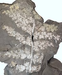 Sphenopteris spiniformis Kidston 1893
