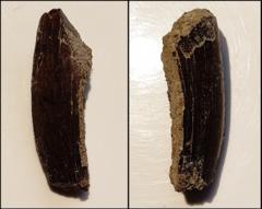 Tooth - Tyrannosaurus rex