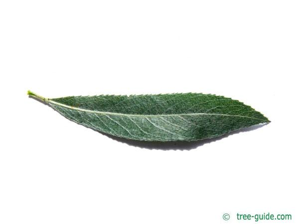 white-willow-leaf1.jpg