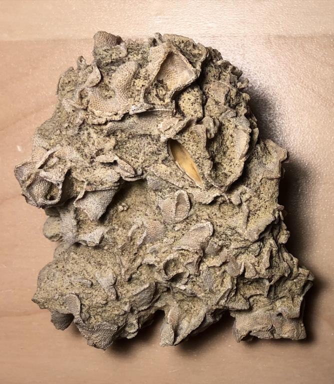 Bryozoan.thumb.png.f63b689ab6c420b80ab622b90067e86e.png