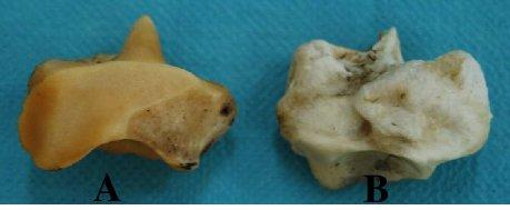 Maleollar-bone-in-camel-A-and-cow-B_W640.jpg.9301d3b617a44177170c0b1b35303d99.jpg