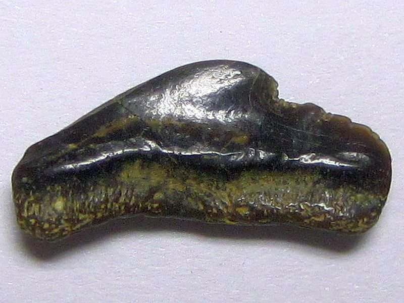 Galeocerdo aduncus (Agassiz 1843)