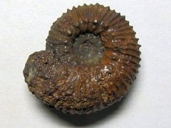 Kepplerites (Gowericeras) cf. metorchus (Buckman)