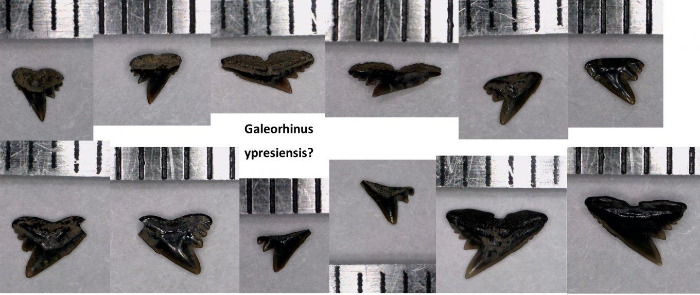 Galeorhinus.jpg