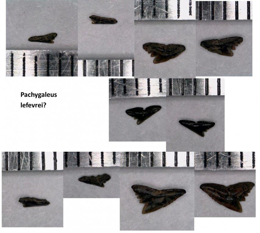 Pachygaleus.jpg