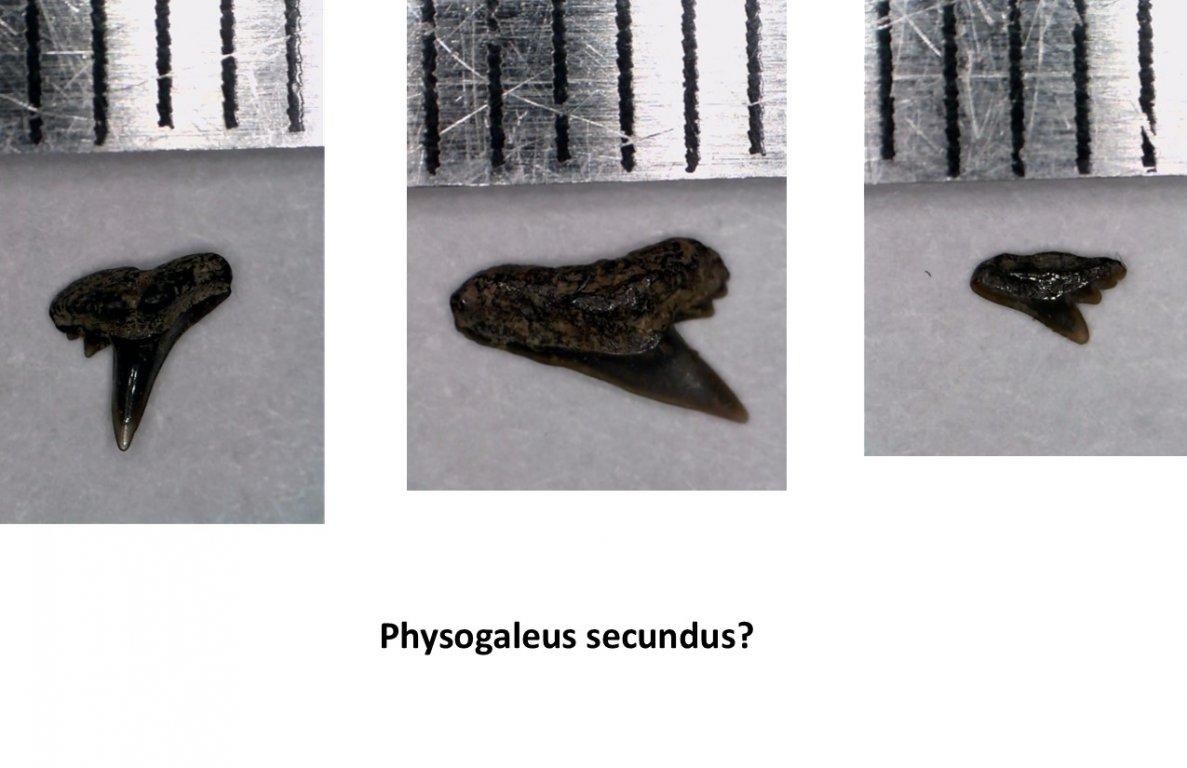 Physogaleus.jpg