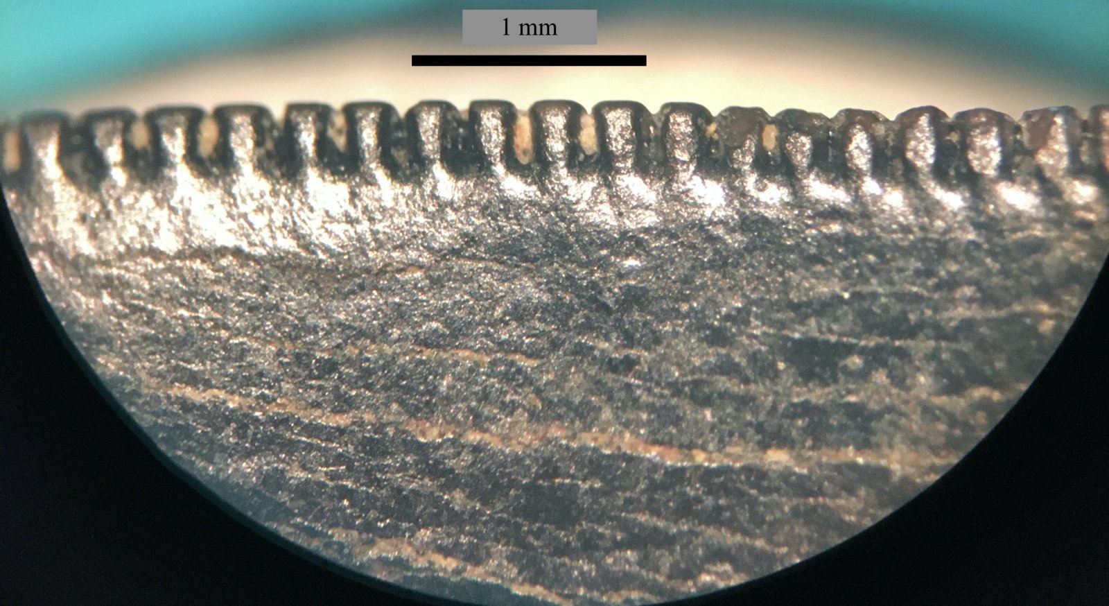 Juvenile T. rex distal serrations