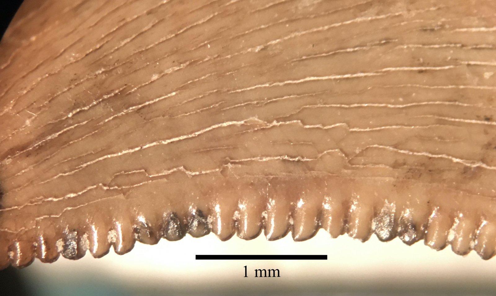 Saurornitholestes distal serrations