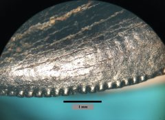 Juvenile T. rex mesial serrations