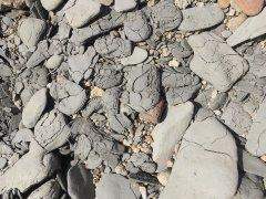 Mosasaur bone in situ (3)