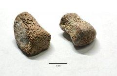 Small mosasaur vertebrae