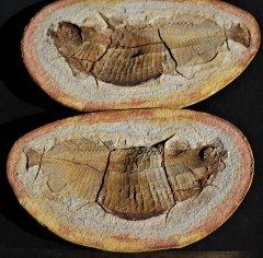 Australosomus merlei Piveteau, 1934 Lower Triassic  Sakamena Formation Ambilobe Madagascar
