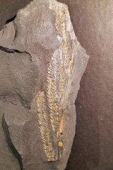 unidentified calamitalean cones