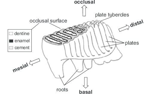 Schematic-representation-of-a-mammoth-lower-molar-Anatomical-features-distribution-of.png