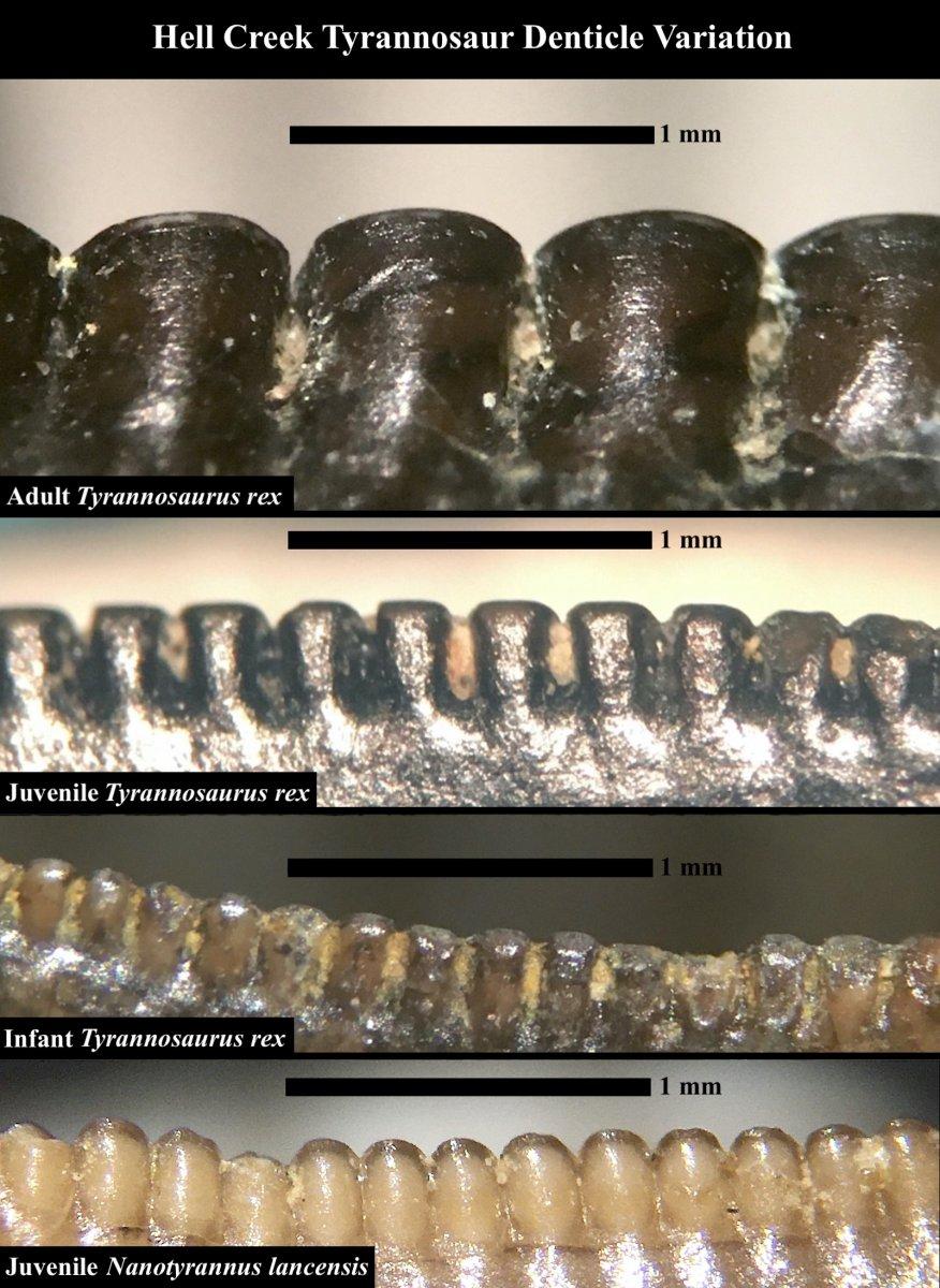 Hell Creek Tyrannosaur Denticle Variation