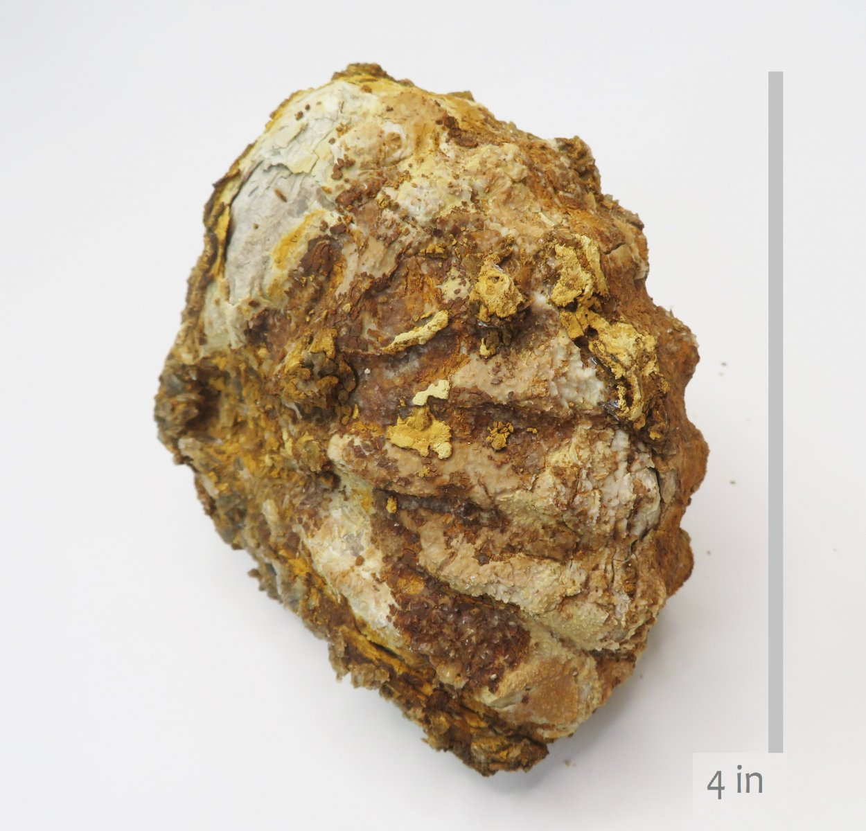 Ammonite Metoicoceras  Woodbine Dallas (4)