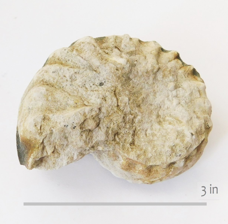 Ammonite Mortoniceras whitneyi GTown (2)