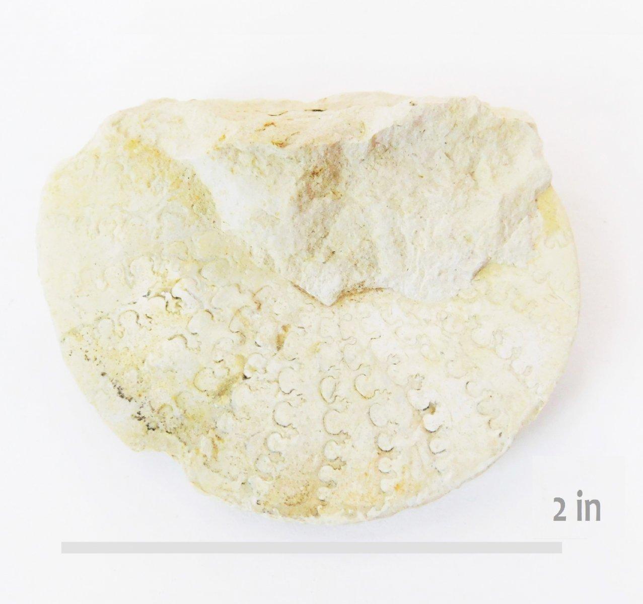 ammonite Metengonoceras HH Walnut