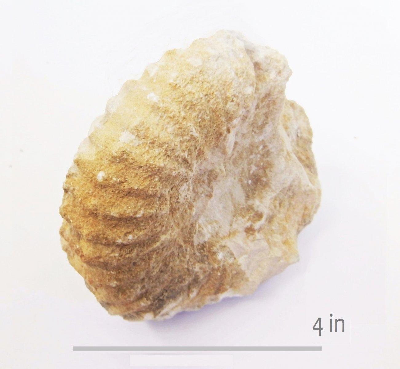 ammonite Sharpeiceras mexicanum buda onion ck