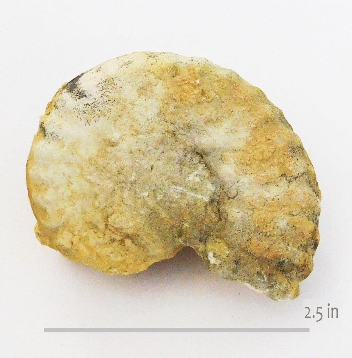 Ammonite Mortoniceras GTown SM