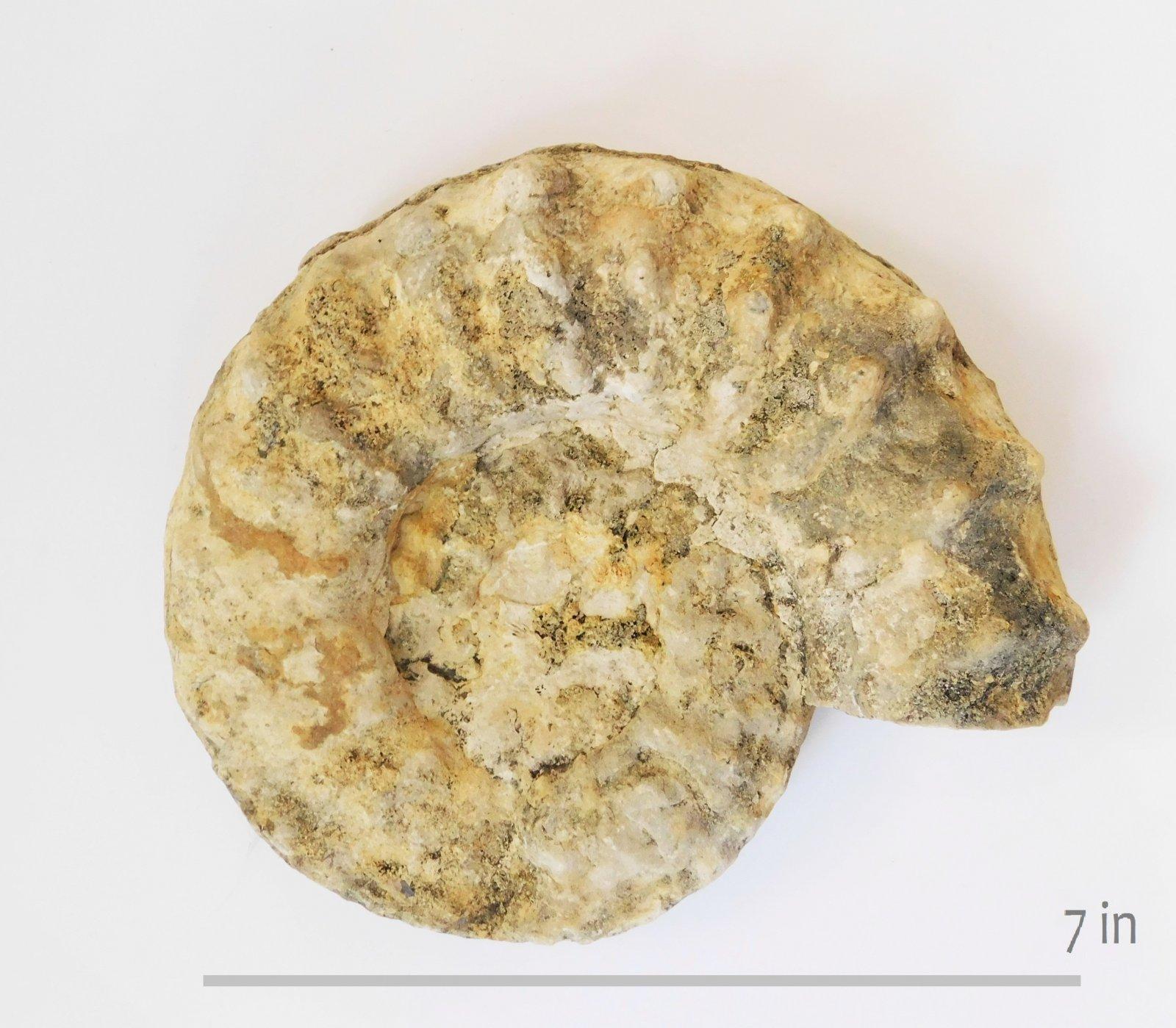 Ammonite Mortoniceras G Town