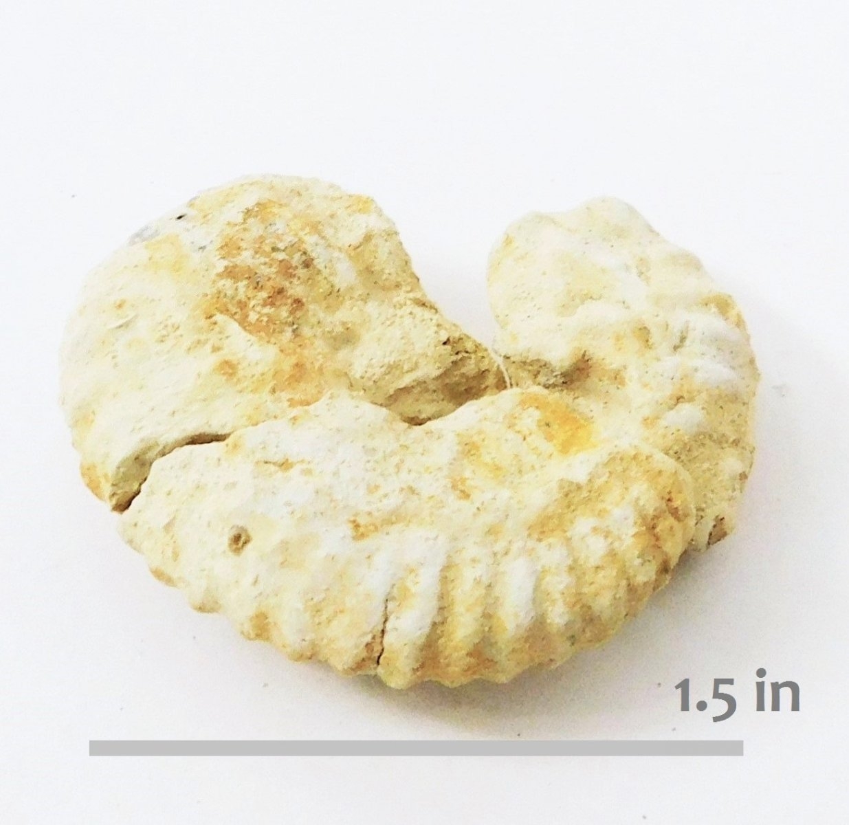 Ammonite Hypacanthoplites mayfieldensis Blanco Sport GR -